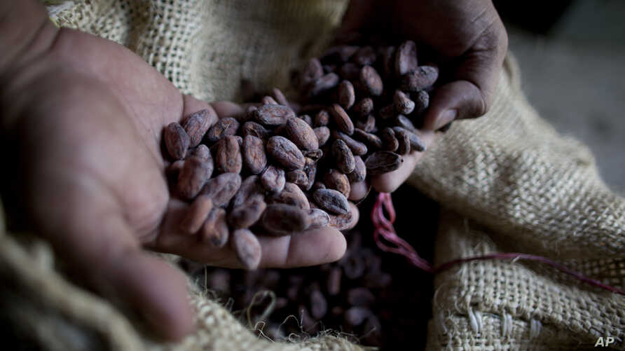 FILE - A worker holds dried cacao seeds at a plantation in Cano Rico, Venezuela, Nov. 15, 2012.