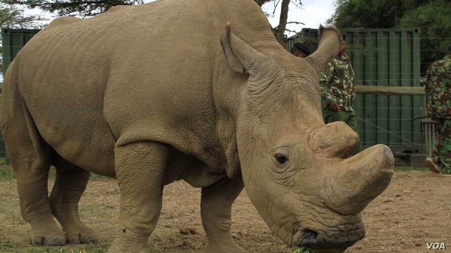 Sudan, the world's last remaining male northern white rhinoceros, lives at Ol Pejeta conservancy, the largest black rhino sanctuary in East Africa, in Laikipia Plateau, Kenya, April 28, 2016.