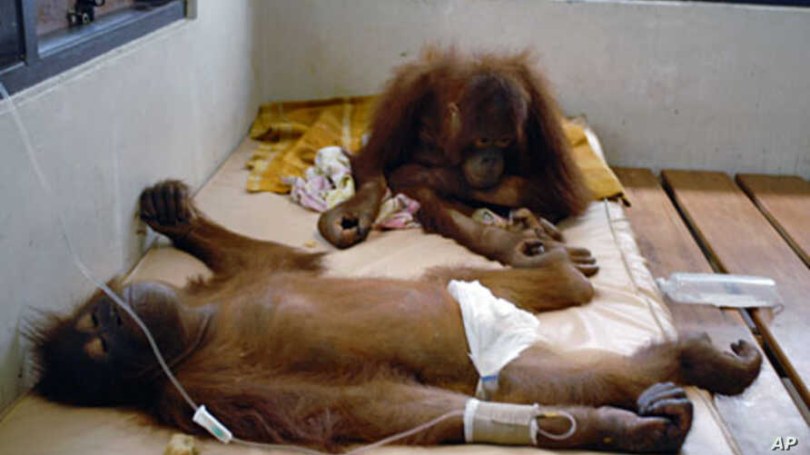A pair of orangutans receive medical treatment at the Nyaru Menteng Borneo Orangutan Survival (BOS) center in Palangkaraya, central Kalimantan (File).
