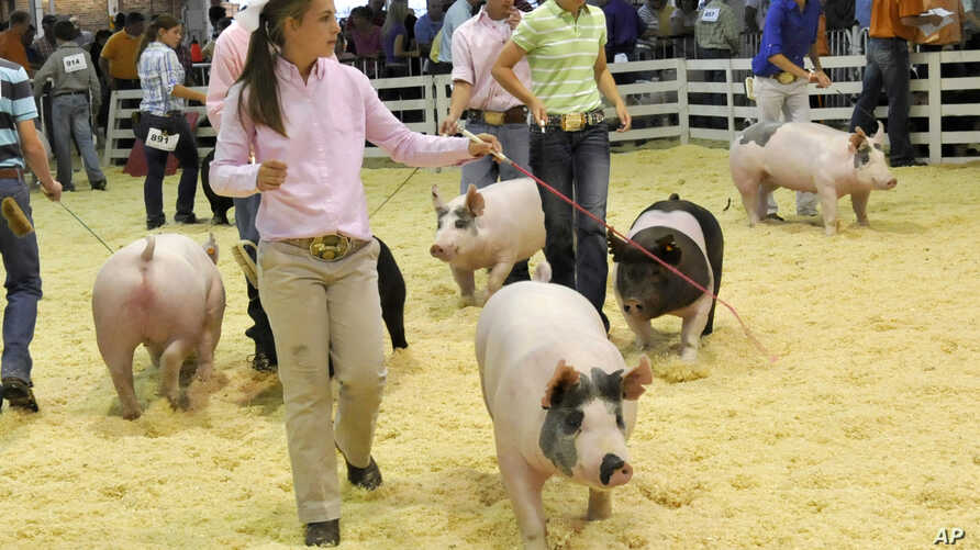 FILE - A participant shows her hog during an event at the World Pork Expo, June 10, 2010, at the Iowa State Fairgrounds in Des Moines, Iowa.