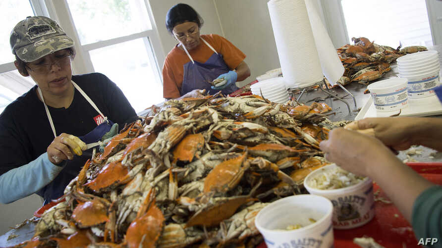 FILE - Migrant workers Maricela Sanchez (L) and Minerva Nava (R), puck crabs at Old Salty's Seafood in Hoopers Island, Maryland on Aug. 9, 2018, where there is a shortage of migrant workers.
