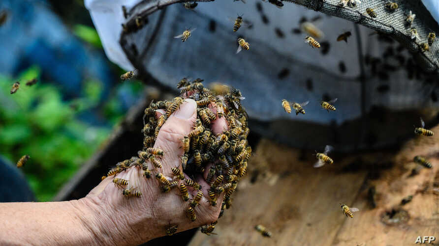 This photo taken on February 14, 2019 shows beekeeper Yip Ki-hok, 62, pulls out handfuls of bees from a drawstring bag before placing them into a Langstroth hive at his apiary in Hong Kong, after he removed their honey-filled nest from a hillside usi...