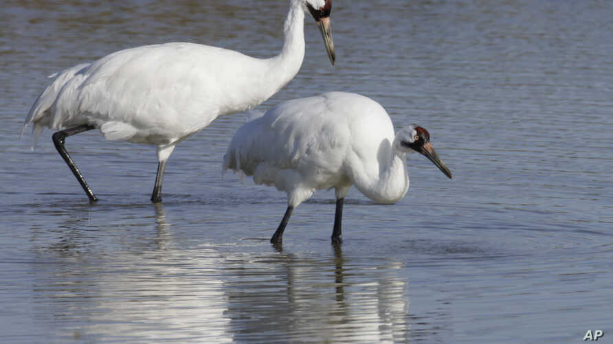 A pair of whooping cranes walking in the water at the Aransas National Wildlife Refuge near Rockport, Texas. Scientists are using fake eggs to spy on whooping cranes in hopes of learning why some chicks die in the egg, while others hatch.
