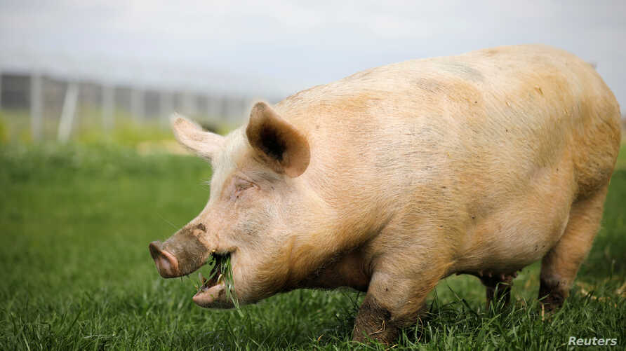 """A pig named Yossi, grazes at """"Freedom Farm"""" in Moshav Olesh, Israel March 7, 2019. Yale scientists looking to enhance brain study, were able to restore basic cellular activity in the brains of pigs hours after their death."""