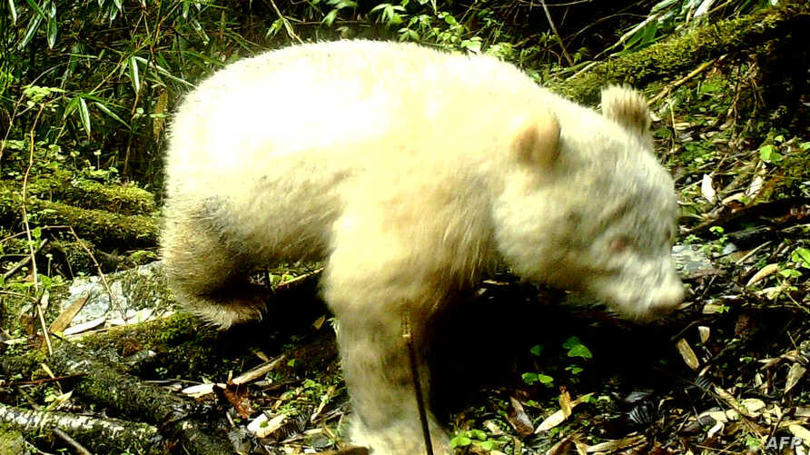 A rare all-white panda has been caught on camera while trekking through the forest mid-April in southwestern Sichuan province, China.