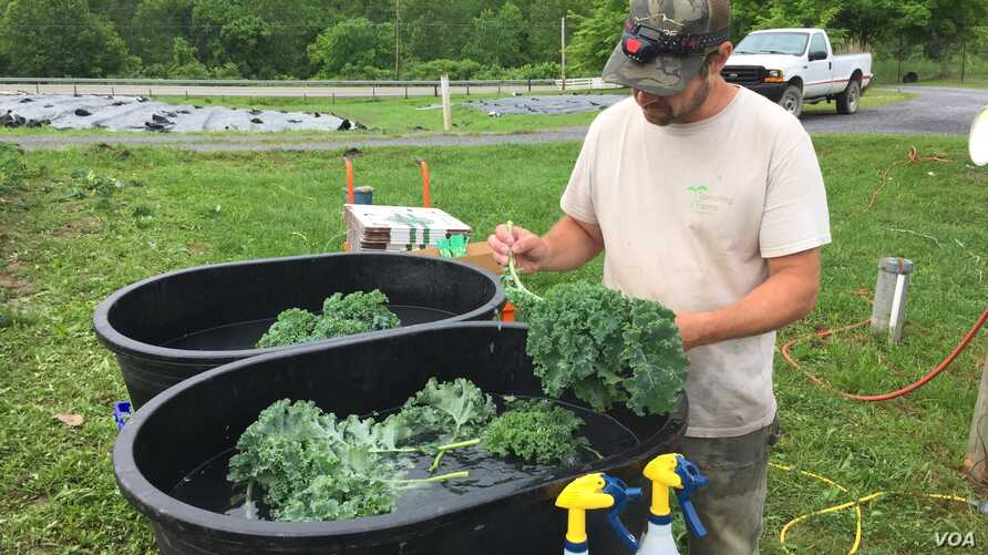 Hand picked organic kale is washed and packed on site at Sprouting Farms, WV, ready for distribution to area retail and wholesal
