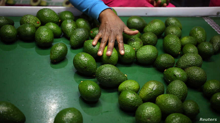 A worker sorts avocados at a farm factory in Nelspruit in Mpumalanga province, about 51 miles (82 km) north of the Swaziland border, South Africa, June 14, 2018.