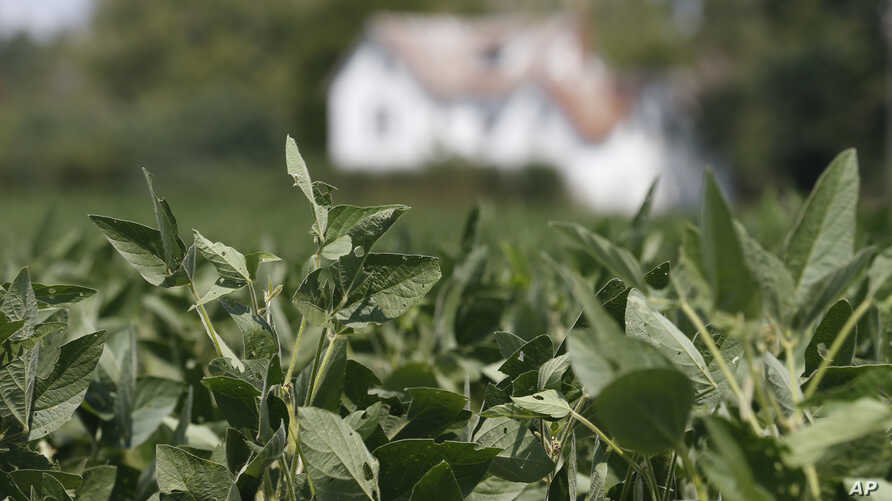 FILE - Soybean plants grow in a field in front of a farm house in Locust Hill, Va., Sept.