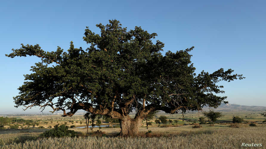 FILE - An Odaa tree stands in the town of Dukem, Oromia region, Ethiopia, Nov. 1, 2018. Ethiopians planted more than 350 million tree seedlings on July 29, 2019, in what is thought to be a world record.