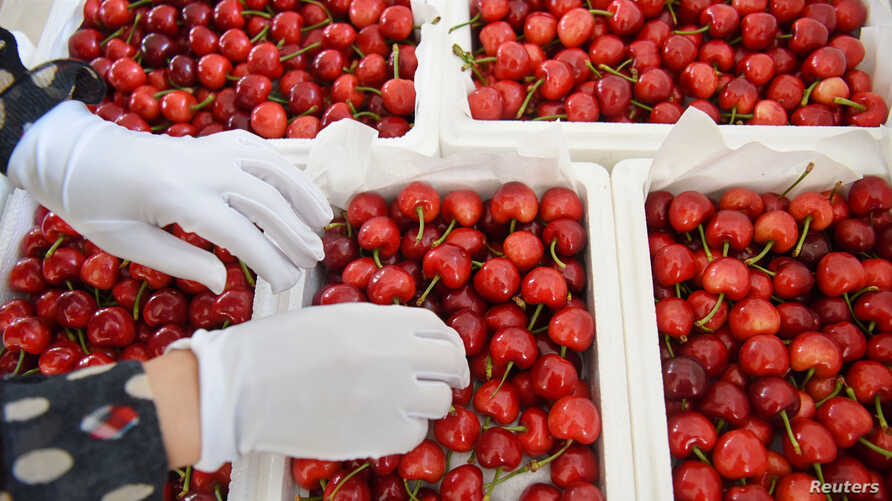 A worker sorts cherries at a logistics base in Zibo, Shandong province, China, June 3, 2019.