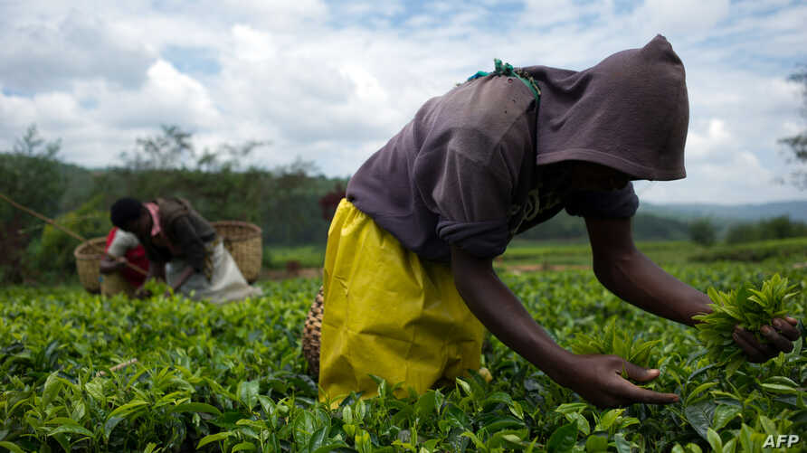 Laborers pick tea leaves in a plantation of Sorwathe Tea Ltd., in Rwanda's Cyohoha district, March 15, 2014.