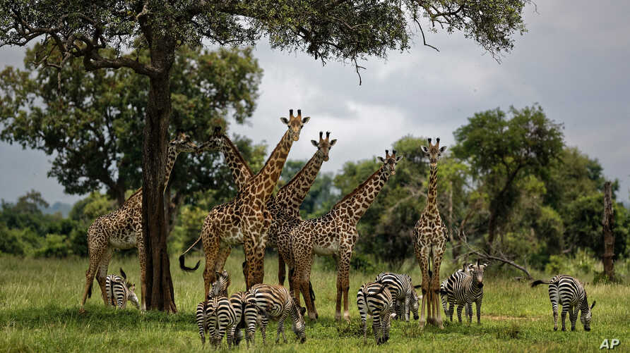 FILE - Giraffes and zebras congregate under the shade of a tree in the afternoon in Mikumi National Park, Tanzania, March 20, 2018.