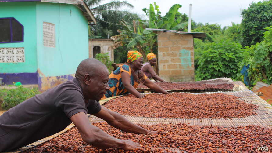 Cocoa farmers in Ghana dry out the cocoa beans before they sell them. (S. Knott/VOA) August 2019