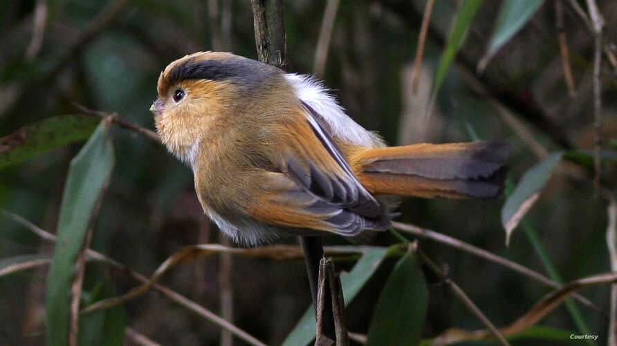 A parrotbill, also referred to as kiwikiu. (Courtesy image: Ron Knight from Seaford, East Sussex, United Kingdom)
