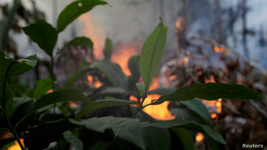 An ant is pictured as a fire burns a tract of Amazon jungle as it is cleared by loggers and farmers near Porto Velho, Brazil, Aug. 27, 2019.