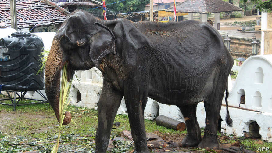 70-year-old emaciated elephant Tikiri eating at the Temple of the Tooth in the central city of Kandy, Sri Lanka.