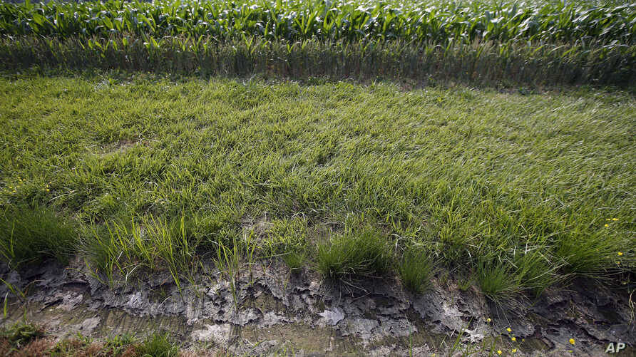 FILE - A dry water ditch is seen next to a corn field in Cordova, Maryland, June 11, 2015.