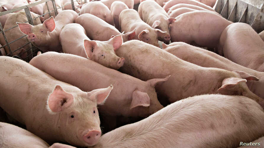 FILE - Pigs nearing market weight stand in a pen at Duncan Farms in Polo, Illinois, U.S., April 9, 2018.
