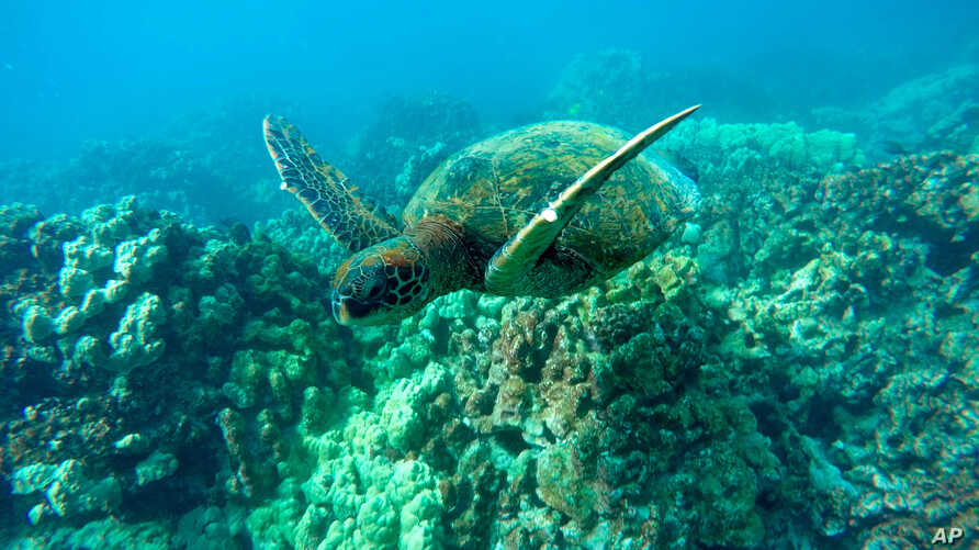 A green sea turtle swims near coral in a bay on the west coast of the Big Island near Captain Cook, Hawaii, Sept. 11, 2019.