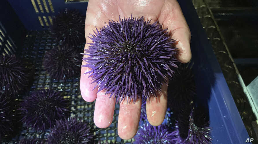 In this May 20, 2019 photo, a purple urchin is held at Bodega Marine Lab, which is running a pilot project to remove purple…