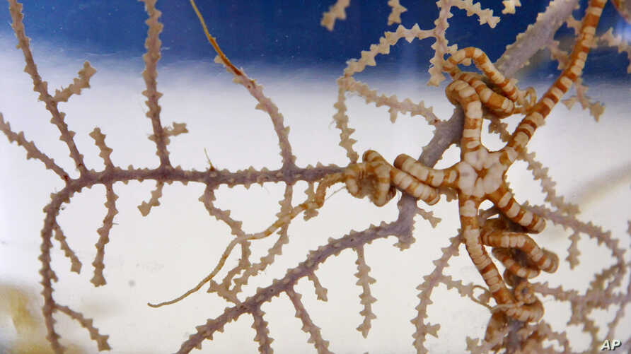 FILE - In this July 20, 2010 file photo, a soft coral and a brittle star, which were collected from the Gulf of Mexico, are…