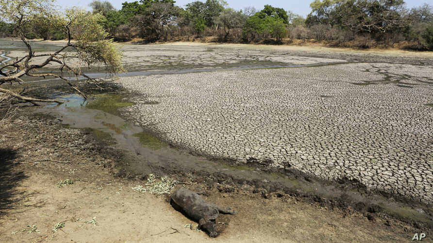 The carcass of a buffalo lies on the edges of a dry pool that used to be a perennial water supply in Mana Pools National Park, Zimbabwe, Oct. 27, 2019.