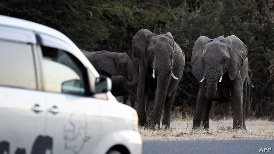 Elephants prepare to cross a road as cars drive by in Kasane, in the Chobe district, Northern Botswana, on May 28, 2019. - Last…