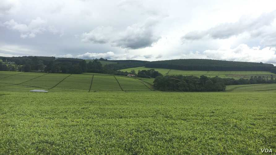 The victims of 1934 British forceful eviction land have been turned into tea farms owned by powerful Kenyan families and international companies.