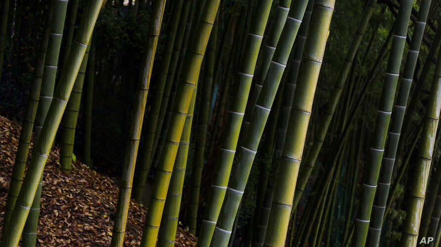 FILE - A bamboo forest is pictured behind Suntory Holdings' Yamazaki Distillery in Shimamoto town, Osaka prefecture, near Kyoto, Japan, Dec. 1, 2014.