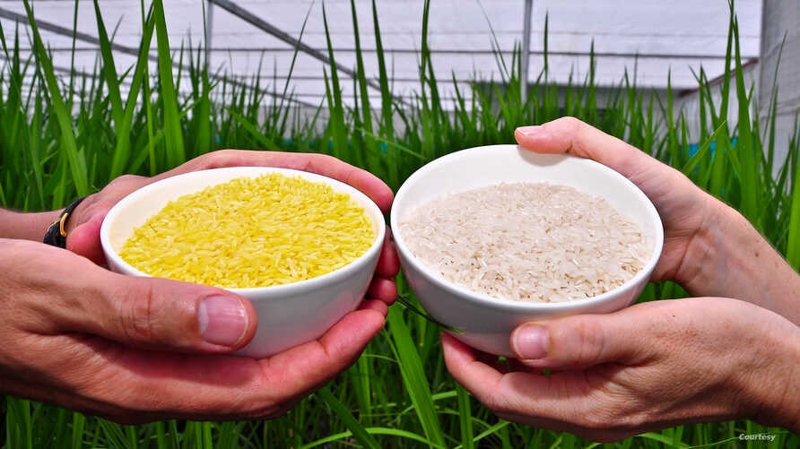 Golden Rice, left, contains beta carotene, the same vitamin A precursor that makes carrots orange. (Credit - IRRI)