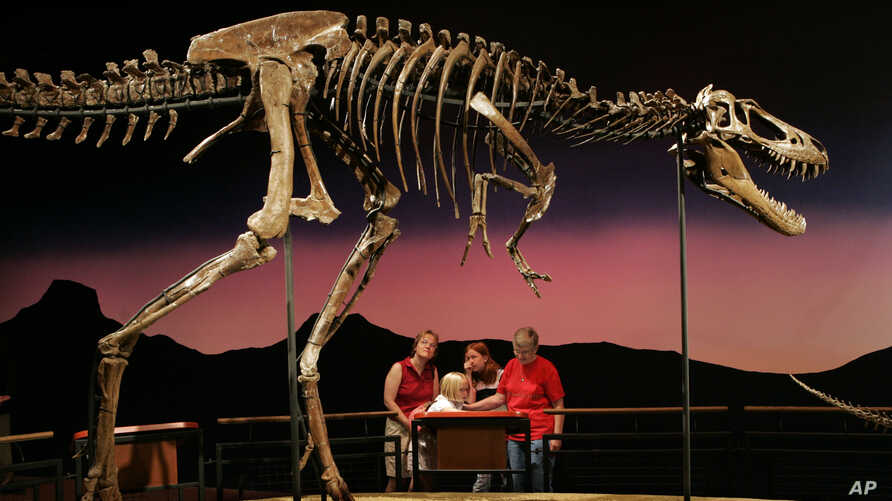 """Visitors to the Burpee Museum of Natural History look at the skeletal remains of """"Jane"""" a juvenile Tyrannosaurus rex on display…"""