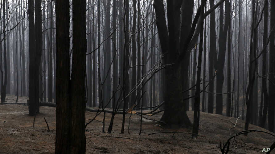 Blackened trees poke through the scorched ground after a wildfire ripped through near Kangaroo Valley, Australia, Sunday, Jan…