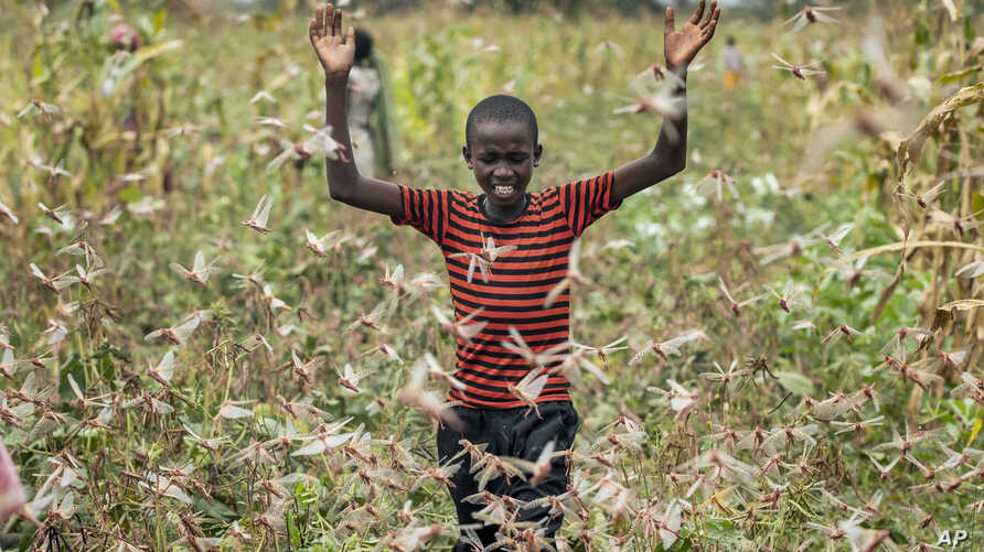 A farmer's son raises his arms as he is surrounded by desert locusts while trying to chase them away from his crops, in…
