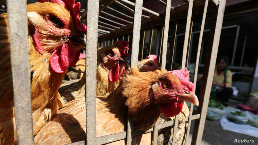FILE PHOTO: Chickens are seen at a livestock market before the market asked to stop trading on March 1 in prevention of bird…