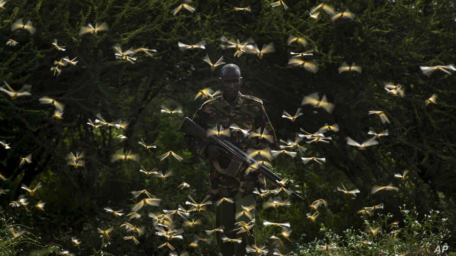 Ranger Gabriel Lesoipa is surrounded by desert locusts as he and a ground team relay the coordinates of the swarm to a plane spraying pesticides, in Nasuulu Conservancy, northern Kenya, Feb. 1, 2020.