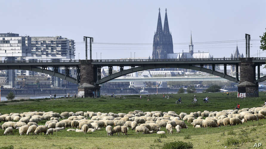 A flock of sheep graze at the river Rhine near the Cathedral in Cologne, Germany.