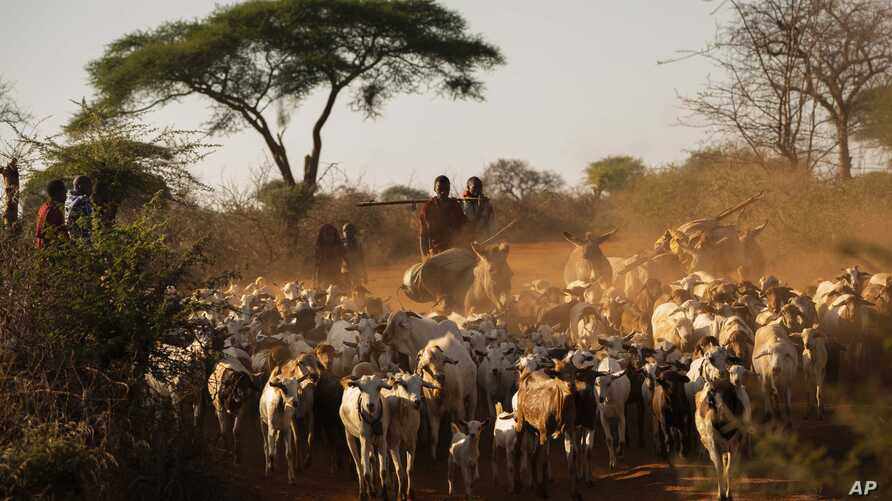 In this Friday July 5, 2019 photo, shepherds return their livestock to their village near Loibor Siret, Tanzania. On the…