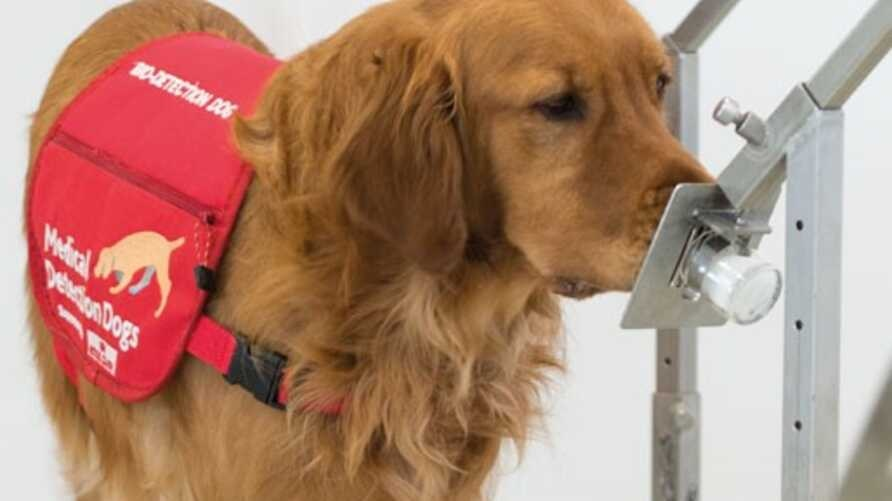 Dogs can learn to sniff out various diseases.
