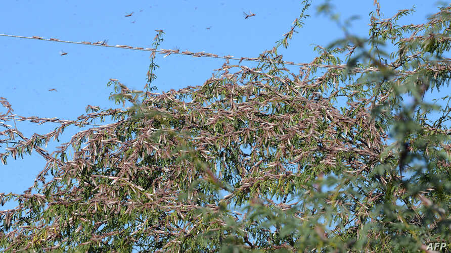 Locusts sit in trees near Miyal village in Banaskantha district some 250km from Ahmedabad, Dec. 27, 2019. A massive locust invasion has destroyed thousands of hectares of crops in northwest India, authorities said.