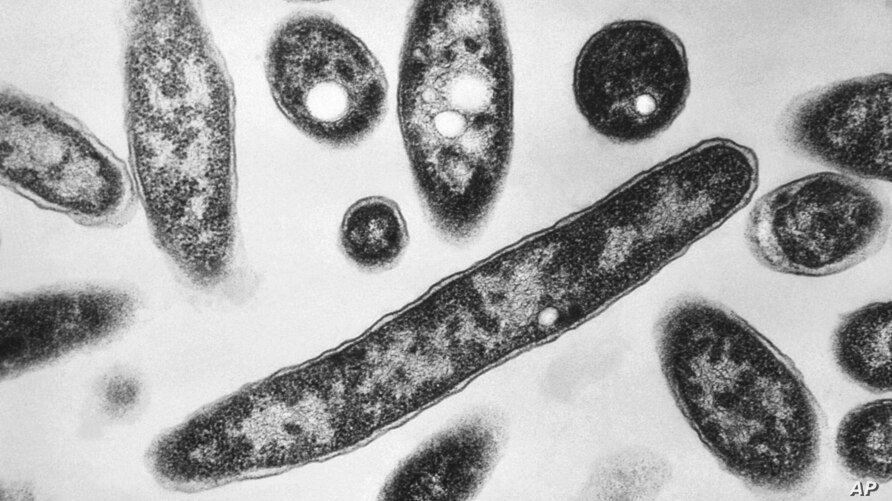 This 1978 electron microscope image made available by the Centers for Disease Control and Prevention shows Legionella…