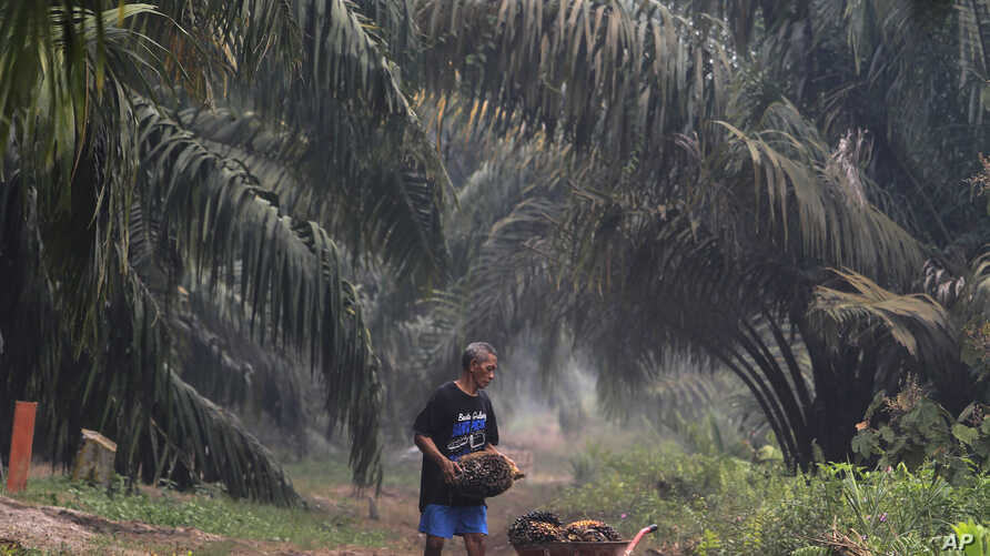 A man carry palm fruits at a palm oil plantation blanketed by haze from wildfires in Pekanbaru, Riau province, Indonesia, Saturday, Sept. 14, 2019.