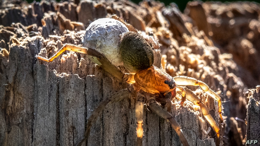 A female Wolf spider (Lycosidae family) carries its egg sac on a stump in a garden outside Moscow on July, 2020. (Photo by Yuri…