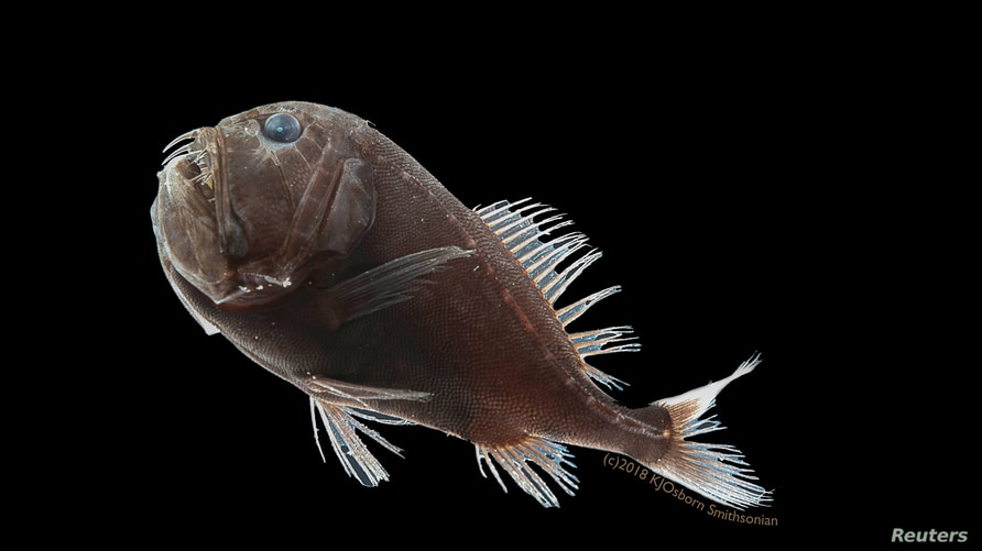 The ultra-black common fangtooth (Anoplogaster cornuta), among the deep-sea fish found to have a unique arrangement of pigment…