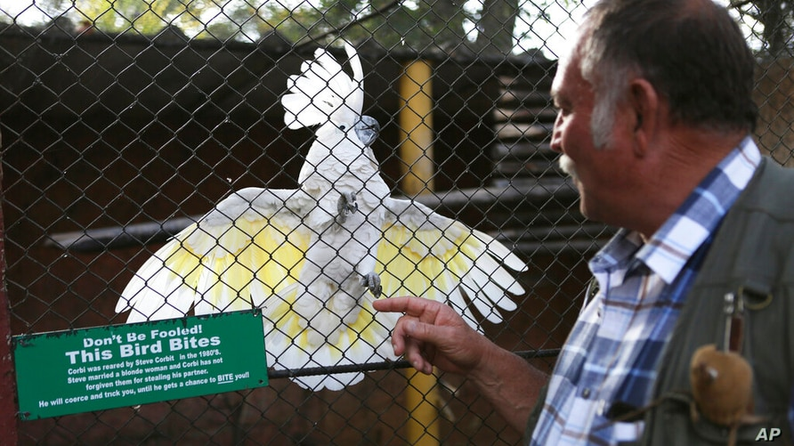 Gary Strafford, a Zimbabwean falconer, reacts with a parrot, at his bird sanctuary, Kuimba Shiri, near Harare, Zimbabwe,…