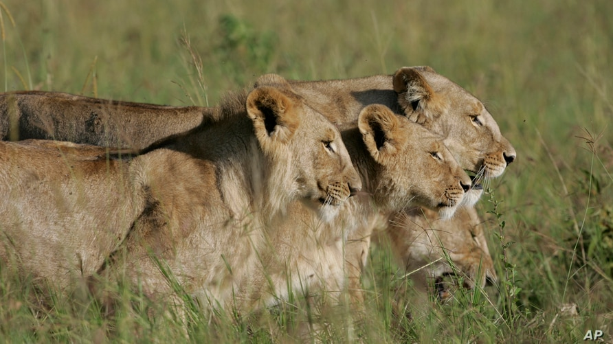 FILE - A group of lionesses walk the plain in the Masai Mara game reserve in Kenya.