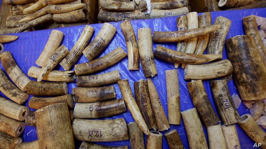 Seized elephant tusks are displayed by the Thai Customs Department during a press conference at Customs Suvarnabhumi airport in…