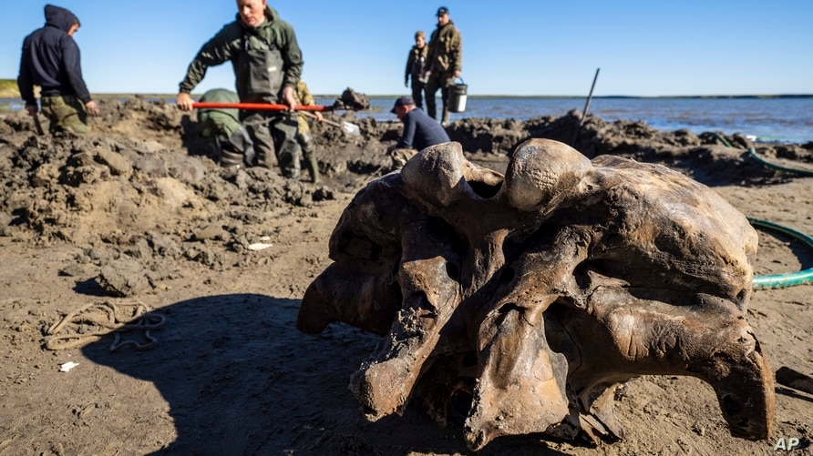 In this handout released by Governor of Yamalo-Nenets region Press Office, people dig in silt searching for mammoth bone…