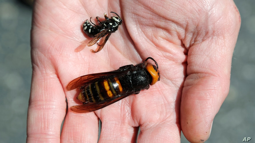 Washington State Department of Agriculture entomologist Chris Looney displays a dead Asian giant hornet, bottom, a sample…