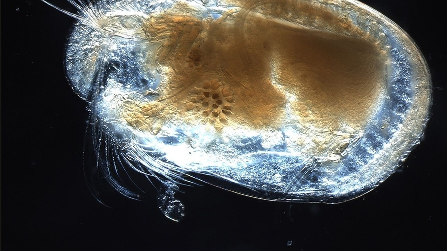 A microscopic image of an ostracod. (Anna Syme/Wikipedia Commons)