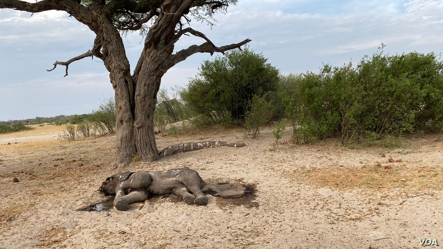 One of more than 200 elephants which died in Hwange national park, Zimbabwe, in November 2019 due to drought. (Columbus Mavhunga/VOA)